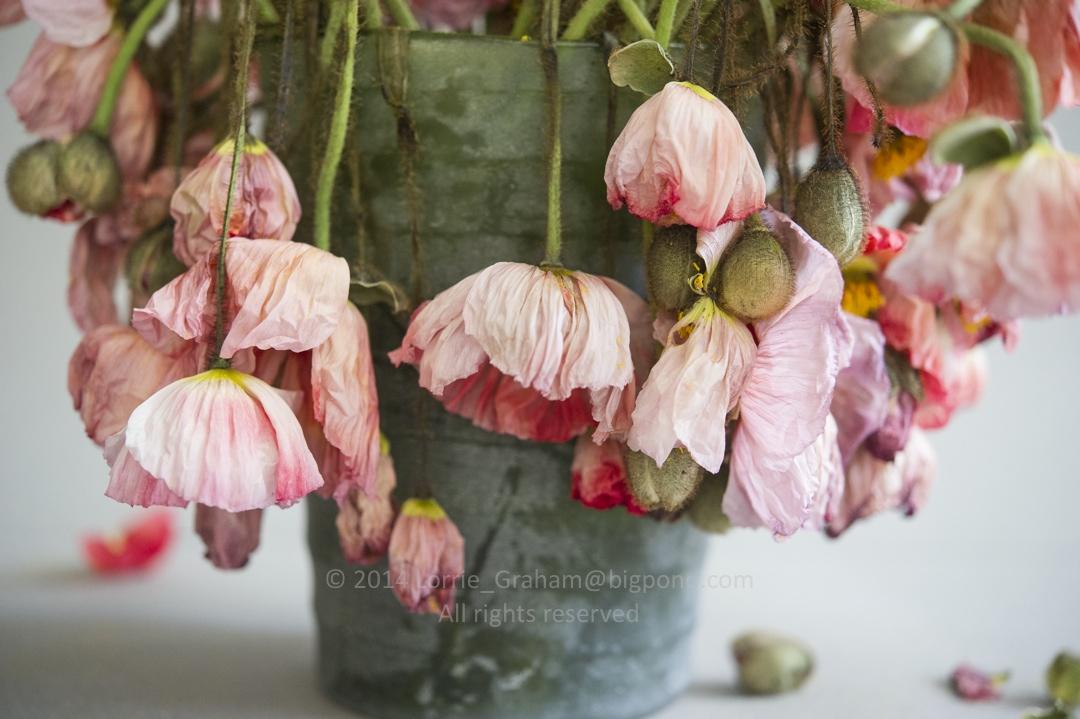 Fading poppy flowers 36