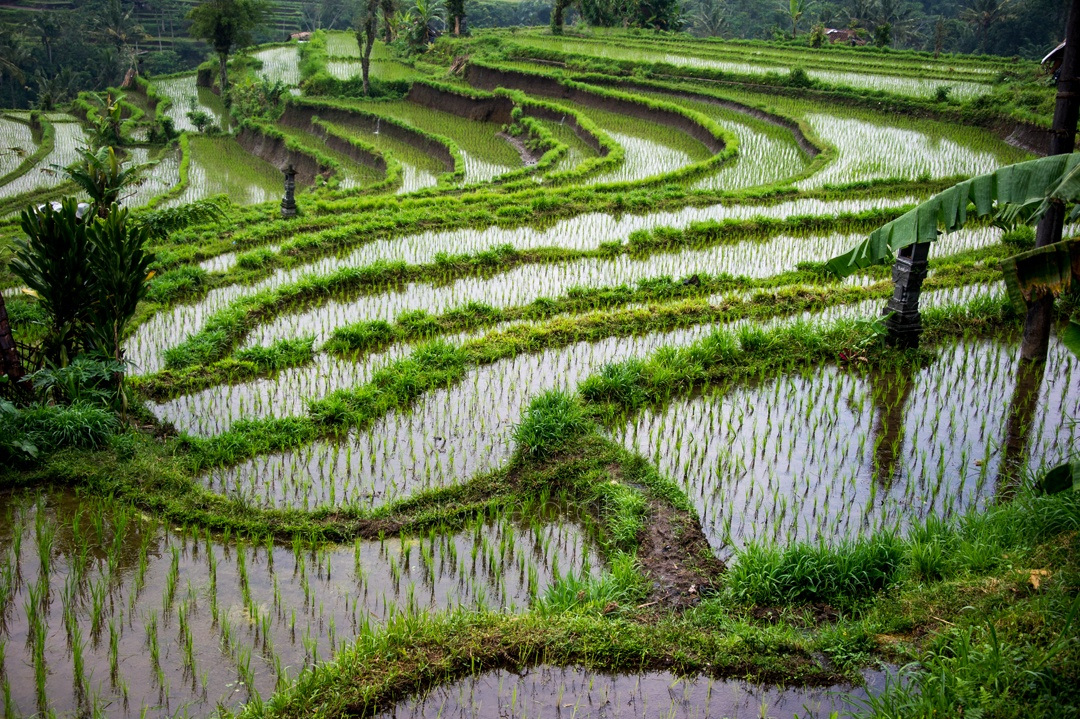 Rice paddies in East Bali