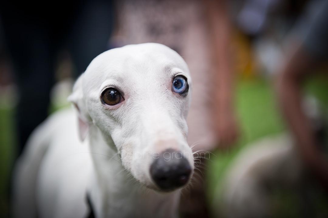 Photo of a Blue Eyed Greyhound