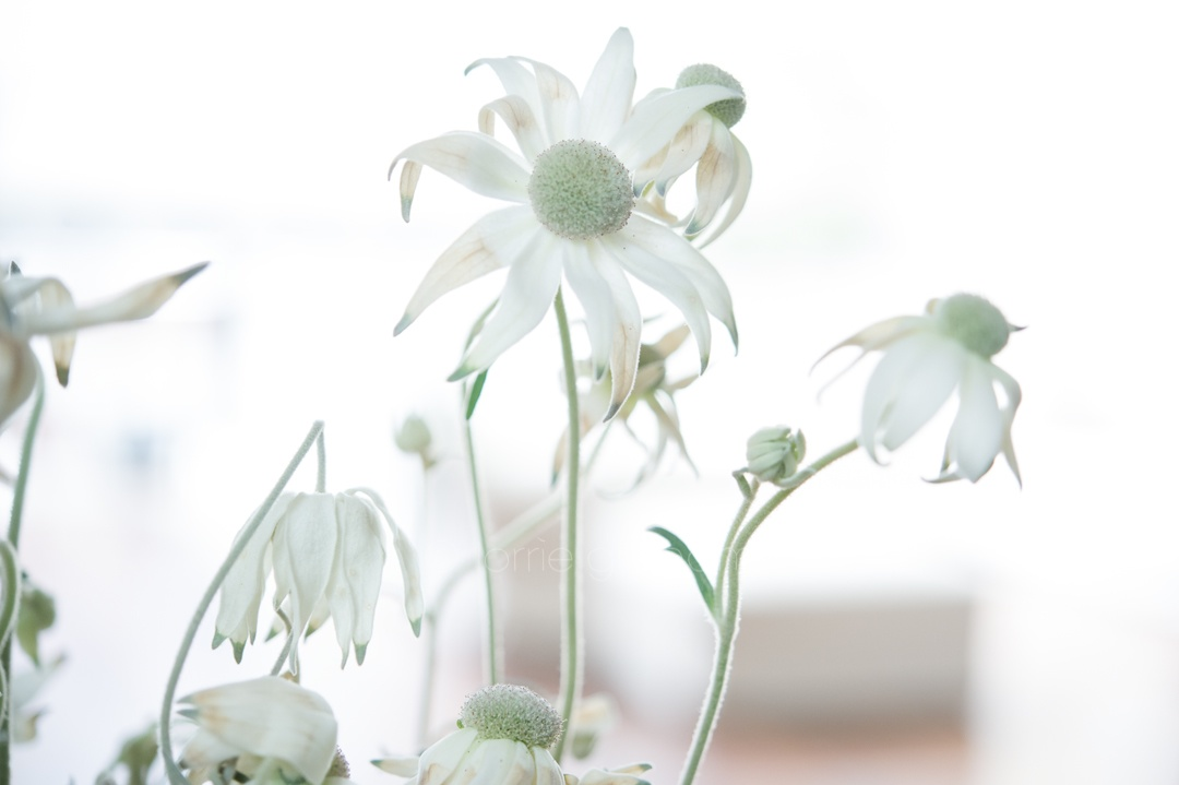 A photo of White Flannel flowers, Newtown.