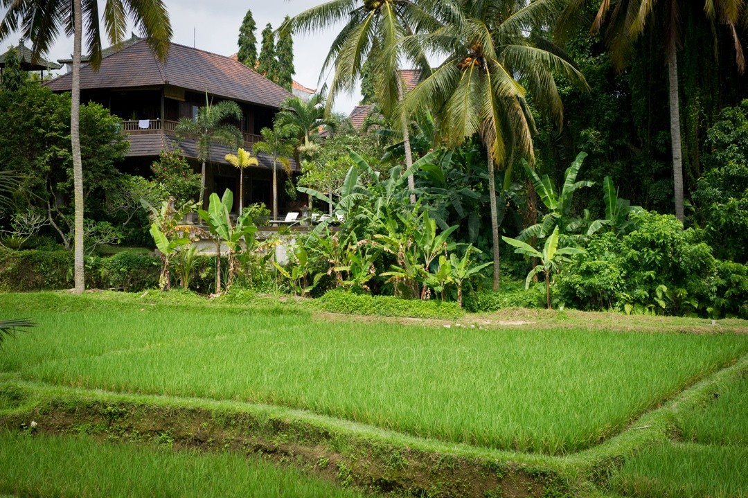 The rice fields near the second annex area at Ananda Cottages, Ubud, Bali