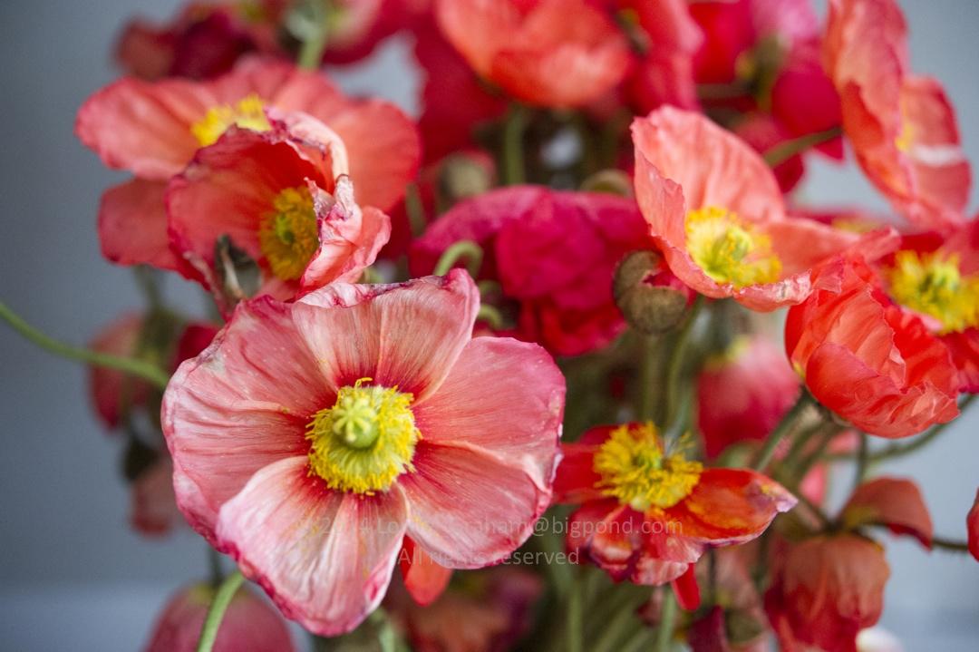 Fading poppy flowers 22