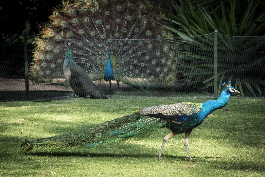 Peacocks at Dolores Olmedo Museum, Mexico City, Mexico